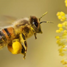 The Truth About Bee Pollen