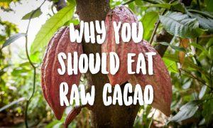 raw cacao tree