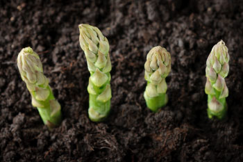 asparagus growing in dirt asparagus benefits