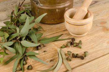 eucalyptus leaves and oil eucalyptus oil heals body