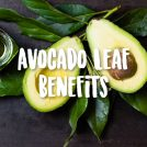 <thrive_headline click tho-post-43309 tho-test-302>3 Major Health Benefits of Avocado Leaves</thrive_headline>