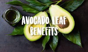 <thrive_headline click tho-post-43309 tho-test-302>3 Major Health Benefits of Avocado Leaves</thrive_headline>